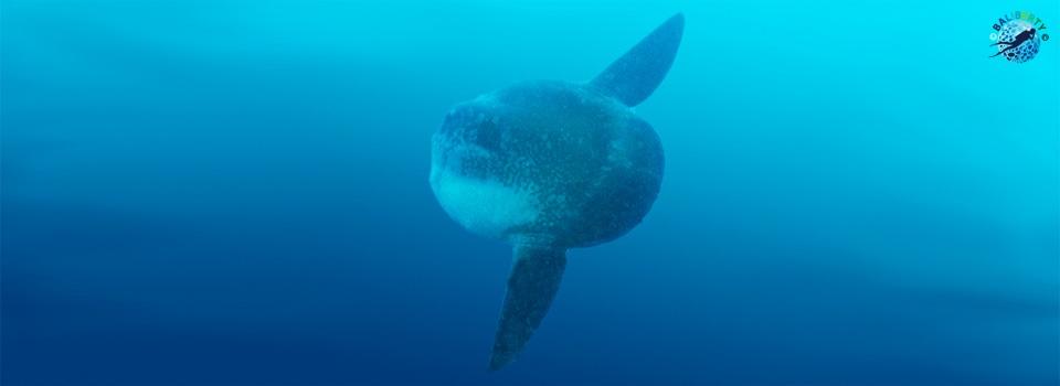 bali-plongee-mola-poisson-lune