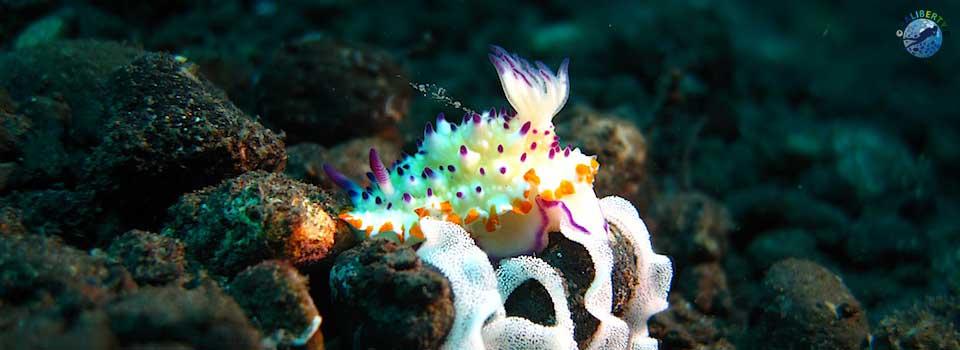 bali-plongee-nudibranche-oeufs