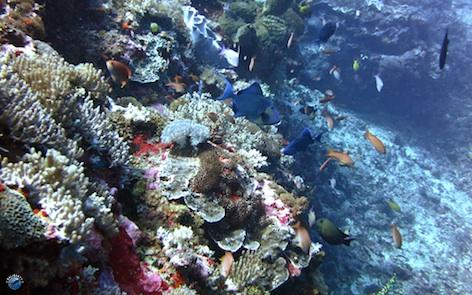 Le corail de Crystal Bay