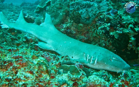 Requin nourisse à Manta Point