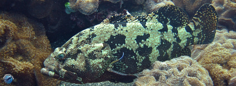 bali-diving-grouper