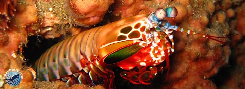 macro crevette squille