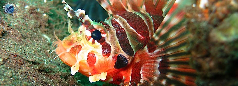 bali-amed-diving-plongee-macro-muck-01