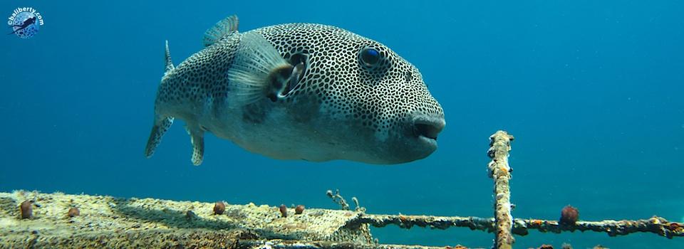 bali-amed-diving-plongee-macro-muck-04