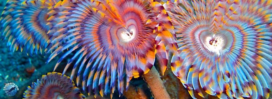 fleur de corail