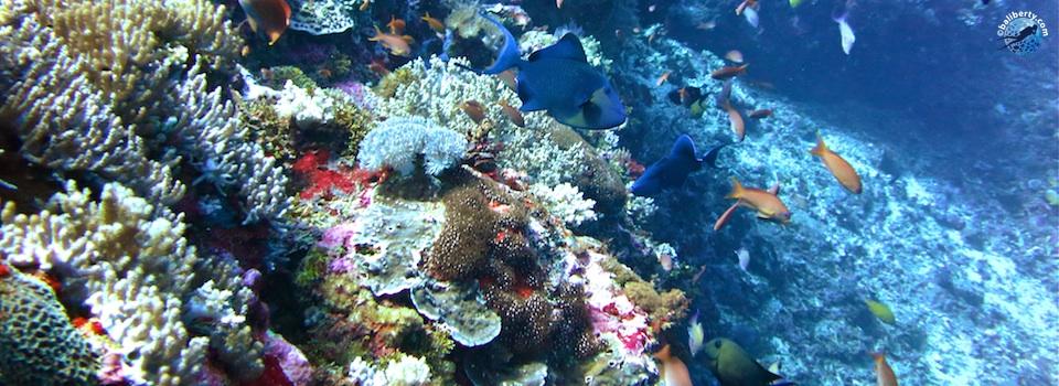 plongee-bali-nusa-penida-corail-poisson