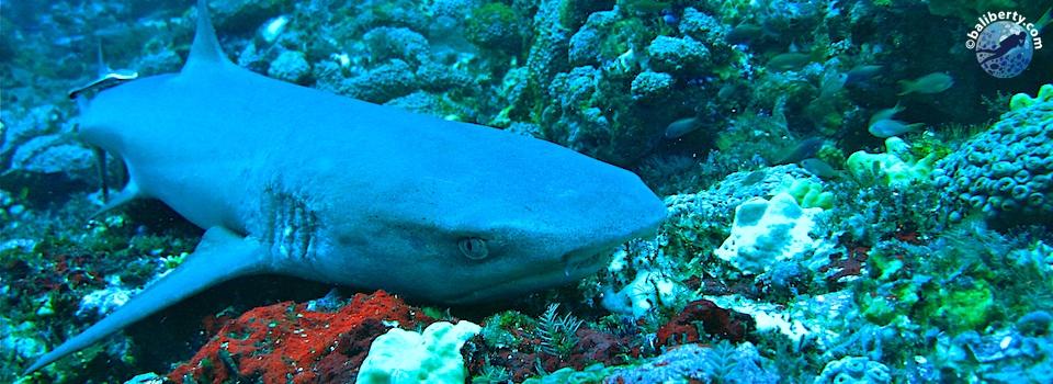 bali-plongee-candidasa-tepekong-requin