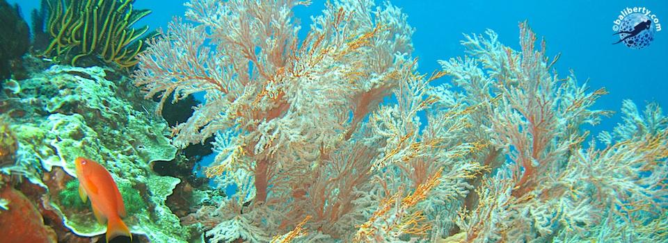 bali-plongee-biaha-corail