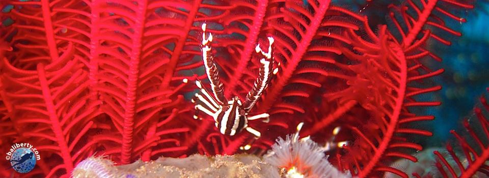 bali-plongee-padang-bai-crabe-comatule