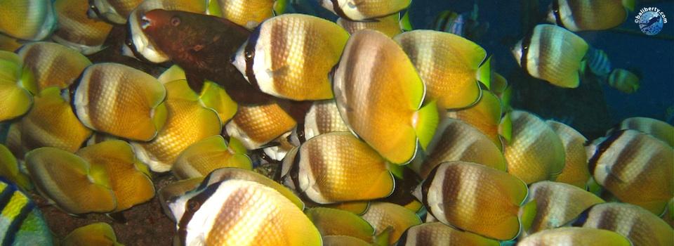 plongee-bali-nusa-penida-poisson-papillon