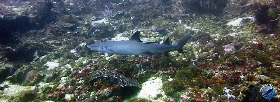 bali-plongee-mimpang-requin