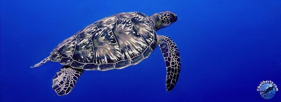 bali-plongee-mimpang-tortue