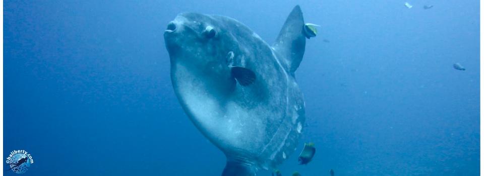 poisson lune mola mola