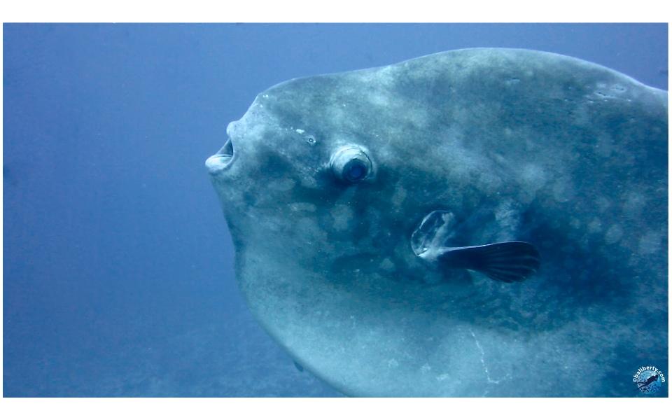 Poisson lune ou Mola-Mola