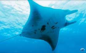 manta rays in Bali
