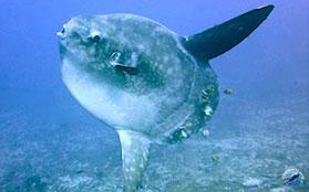 sunfish in Bali