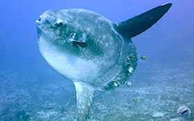 mola-mola-poisson-lune